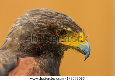 Harris' Hawk portrait with yellow background