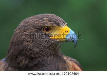 Harris hawk side view  - stock photo