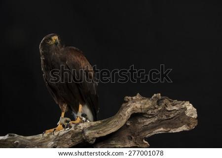 harris hawk sitting on branch, black studio background - stock photo