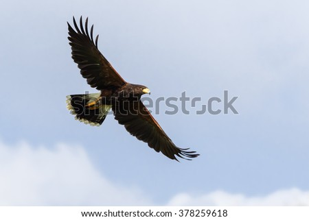 Harris Hawk soaring in a blue sky. A magnificent Harris hawk spreads its wings as it soars across a blue sky. - stock photo