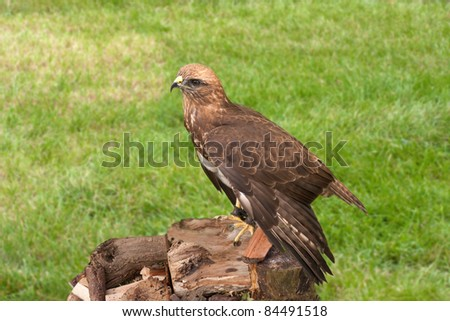 Harris Hawk wearing jesses perched on logs