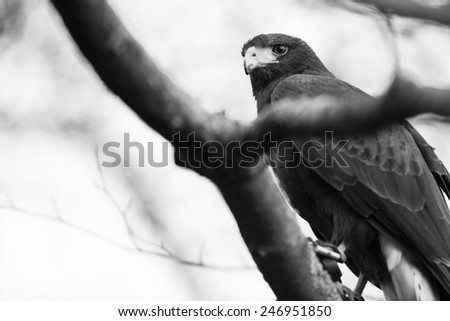 Harris hawks are a common bird in falconry and considered a good first bird. - stock photo