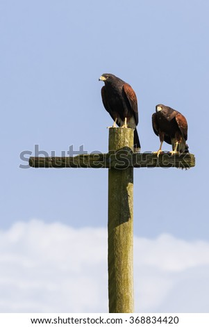 Harris Hawks on a telegraph pole. Two harris hawks use a telegraph pole as a perch from which to seek out prey. - stock photo
