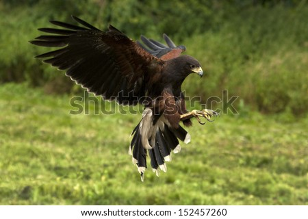 Harris's Hawk or Harris Hawk - Ecuador - stock photo