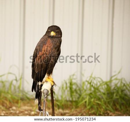 Harris's Hawk (Parabuteo unicinctus) is a North American bird of prey - stock photo