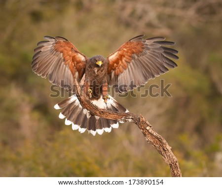 Harris's Hawk (Parabuteo unicinctus) landing on perch - stock photo