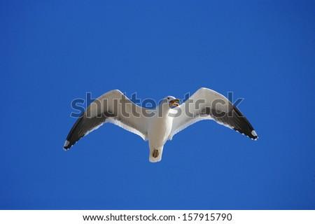 Hartlaubs Gull in flight - stock photo