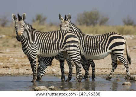Hartmann's mountain zebras, Namibia  - stock photo