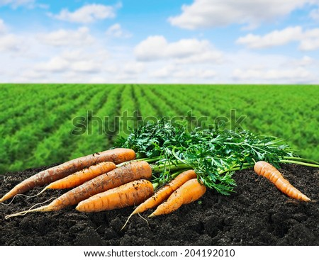 Harvest carrots on the ground on the carrot field - stock photo
