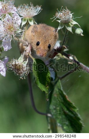 Harvest Mouse clinging to blossom laden branch/Mouse/Harvest Mouse (Micromys Minutus)