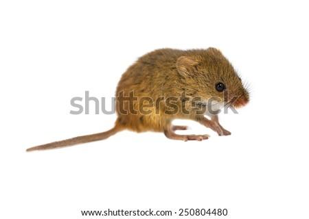Harvest Mouse, Micromys minutus, walking on white background, studio shot - stock photo