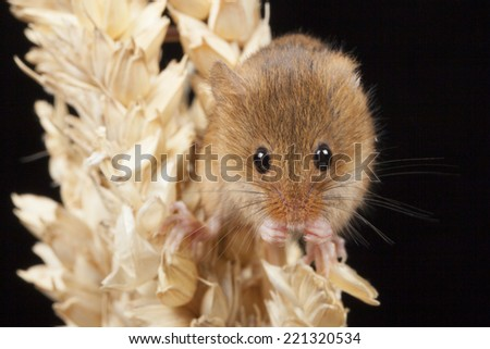 Harvest Mouse on Corn - stock photo