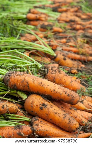 harvest of carrots in field