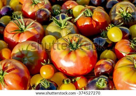 Harvest of different tomato varieties