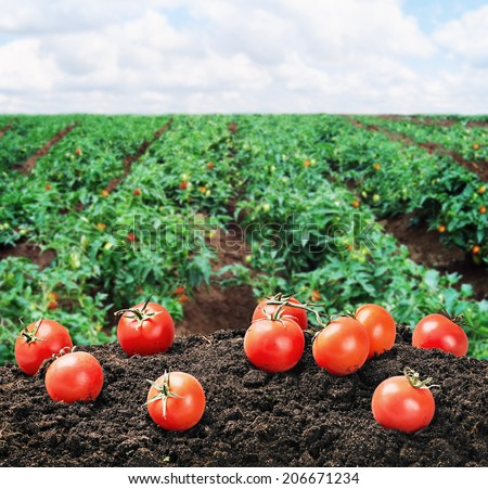 harvest of ripe red tomato on the ground on the field - stock photo