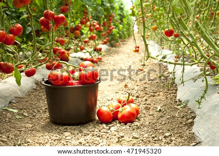 harvest of ripe tomatoes in a greenhouse