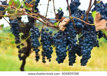 Harvest of several clusters of black grapes on a vine during wine making season in autumn. - stock photo