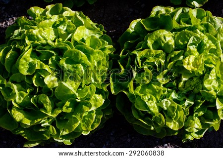 Harvest or agriculture concept. Fresh green lettuce over the organic soil background.  - stock photo