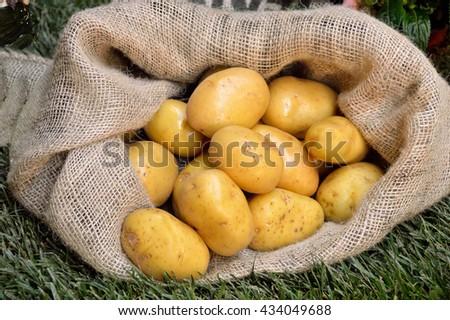 Harvest potatoes in burlap sack on grass background - stock photo