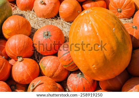 Harvest pumpkins orange color for agriculture harvest background - stock photo