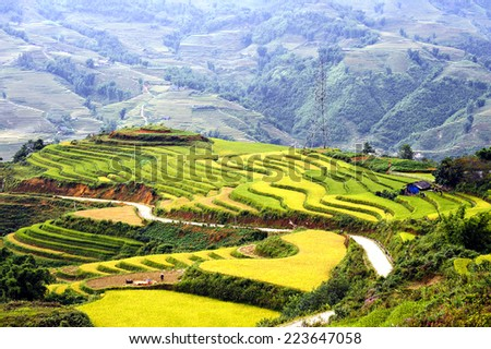 Harvest rice on terraced fields of Sa-pa, Lao cai, Vietnam
