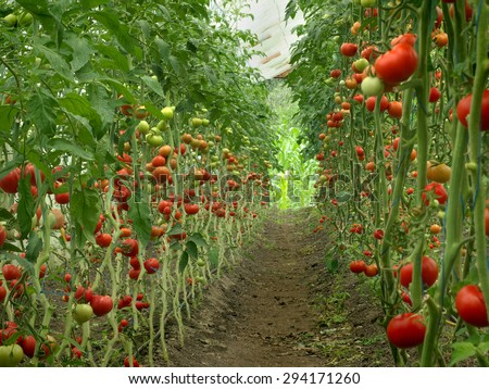 harvest ripening of tomatoes in a greenhouse - stock photo