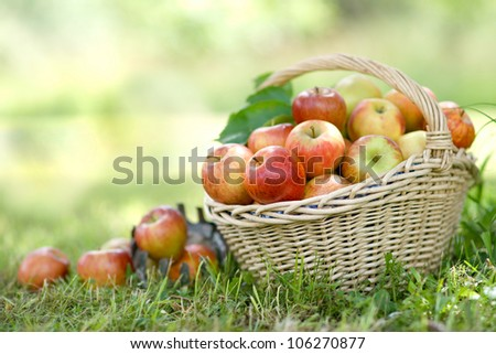 Harvest time, apples