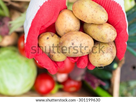 Harvest time. Freshly harvested potatoes in the hands of women - stock photo
