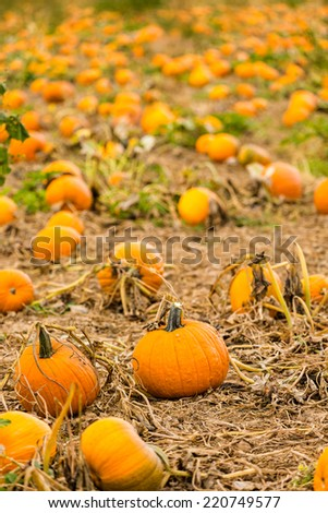 Harvest time on a large pumpkin farm.