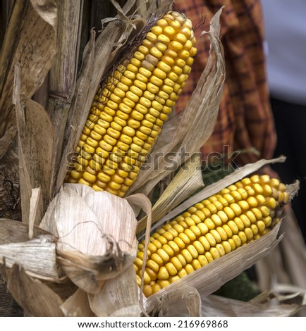 Harvest time with fall corn - stock photo