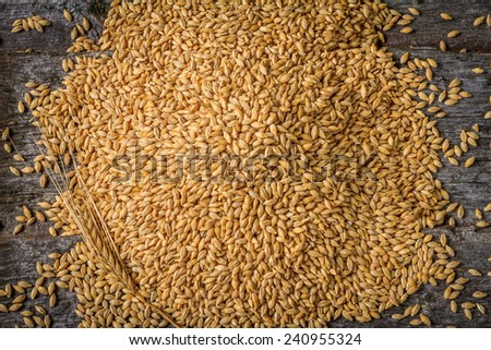 Harvested Barley with Single Spike in Bottom Left Corner on Rustic Old Barn Wood Background  - stock photo