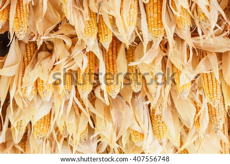 harvested corn background