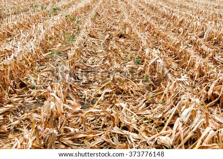 Harvested corn field in golden dry, yellow row - stock photo