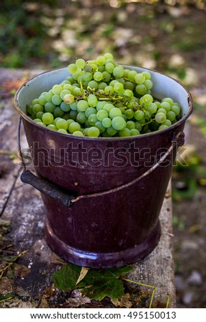 Harvested, fresh, white grapes collected in a container in autumn for wine making on a vineyard.