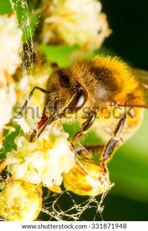 Harvester Bee Collecting Pollen 2 1 Life Size Macro - stock photo