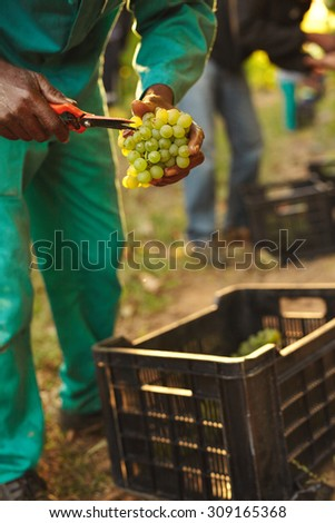 Harvester hands cutting green grapes on a vineyard. Farmer picking up the best quality grapes during harvesting. - stock photo