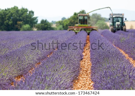 Harvester on lavender field - stock photo