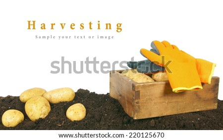 Harvesting. A fresh potato in an old box on the earth. - stock photo