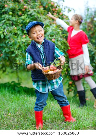 Harvesting apples. Cute little boy with sister helping in the garden and picking apples in the basket.