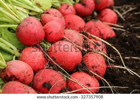 Harvesting freshly Radish - stock photo