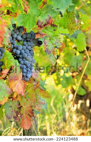 Harvesting grapes: black grapes and colorful leaves - stock photo