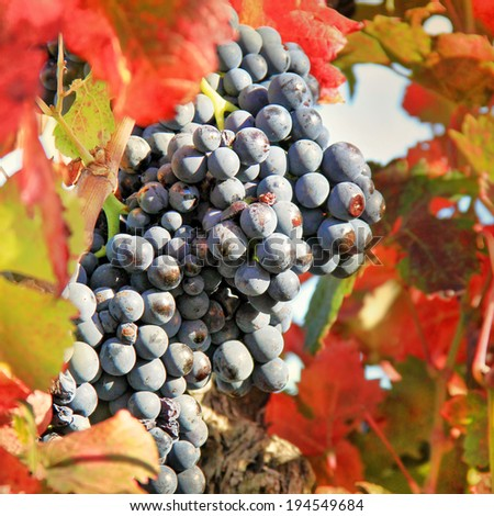 Harvesting grapes: black grapes and colorful leavs - stock photo