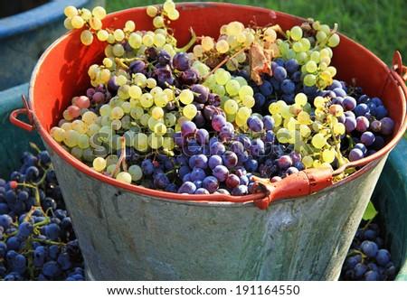 Harvesting grapes: Ripe multi colored grapes inside a pail - stock photo