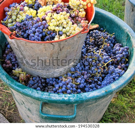 Harvesting grapes: Ripe multi colored grapes inside a pail - stock photo