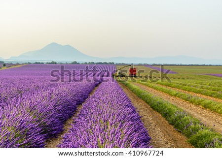 harvesting lavender field around Valensole, Provence
