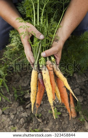 Harvesting Multicolored Heirloom Carrots - stock photo