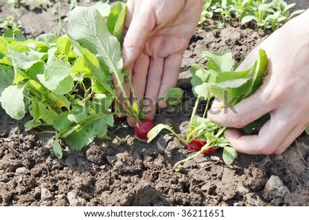 Harvesting of a young garden radish from a plantation - stock photo