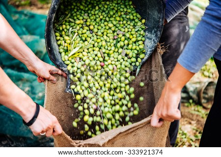 Harvesting olives in Sicily village, Italy - stock photo