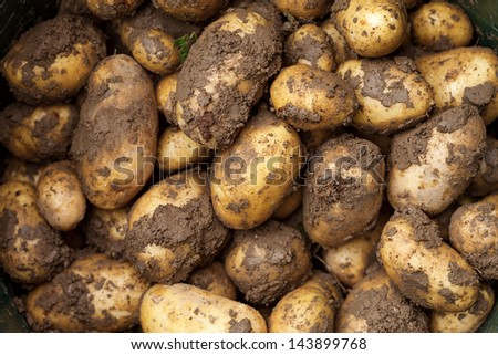 Harvesting potatoes. Agriculture concept. - stock photo