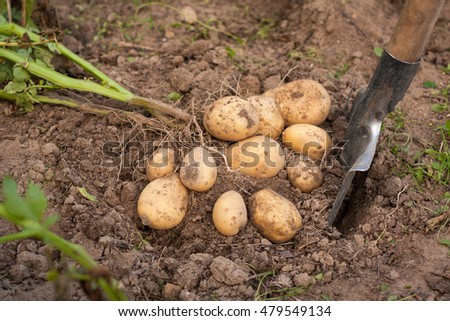 Harvesting Potatoes. Fresh Potatoes Dig From Ground With Spade. Fresh Potato.